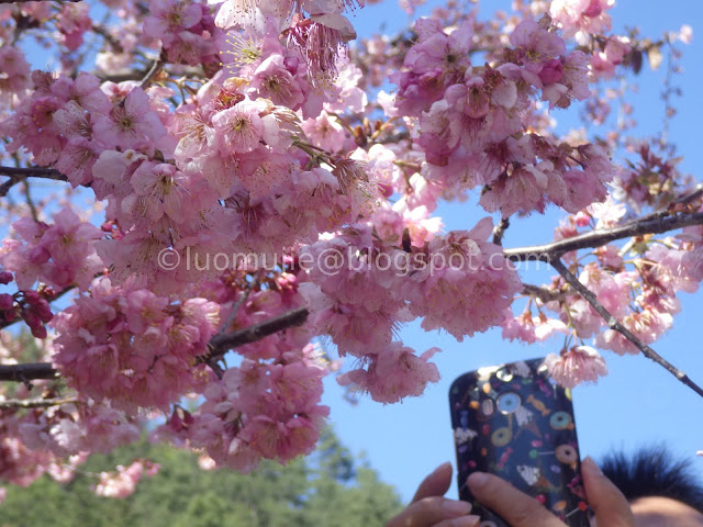 Wuling Farm cherry blossoms