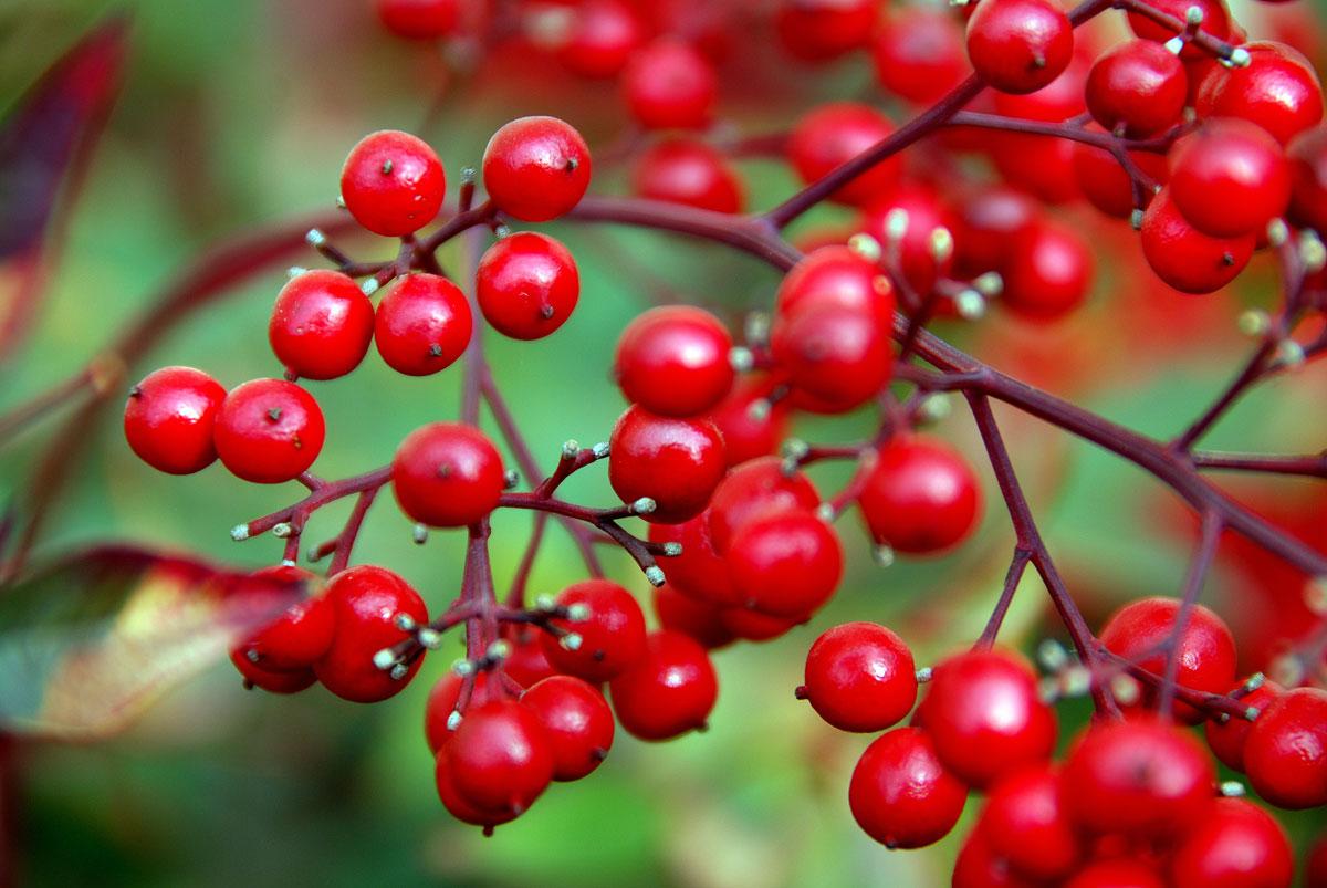 Pianta Foglie Rosse E Verdi il mondo in un giardino: bacche per tutti i gusti e tutte le