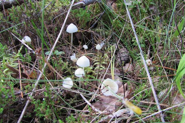 съедобные грибы псковской области фото и описание