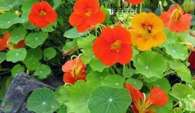nasturtium flower, nasturtium