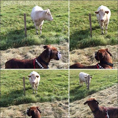 Boxer Amy und die Kuh