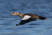 Egyptian Goose - Birds In Flight Photography Cape Town with Canon EOS 7D Mark II  Copyright Vernon Chalmers
