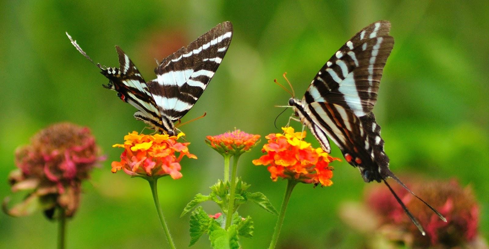 Sepasang Kupu Kupu Terbang di Atas Bunga