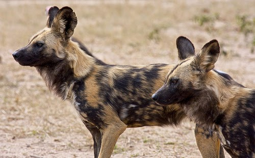 African Wild Dog is listed on the endangered species list due to threats to its survival from predators, disease, and the most dangerous predator, humans.