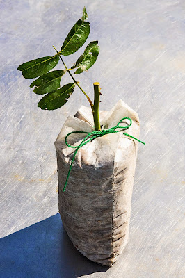 バッグフィルターに挿し木したノイバラ