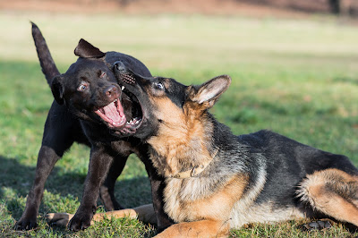 How to Train German Shepherd Puppy Not to Bite Other Dogs