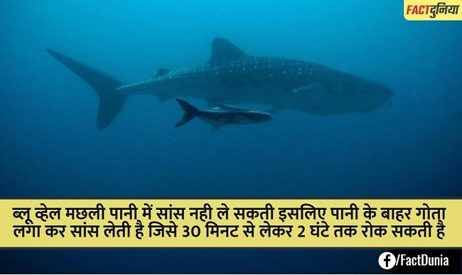 blue-whale-fact-in-hindi