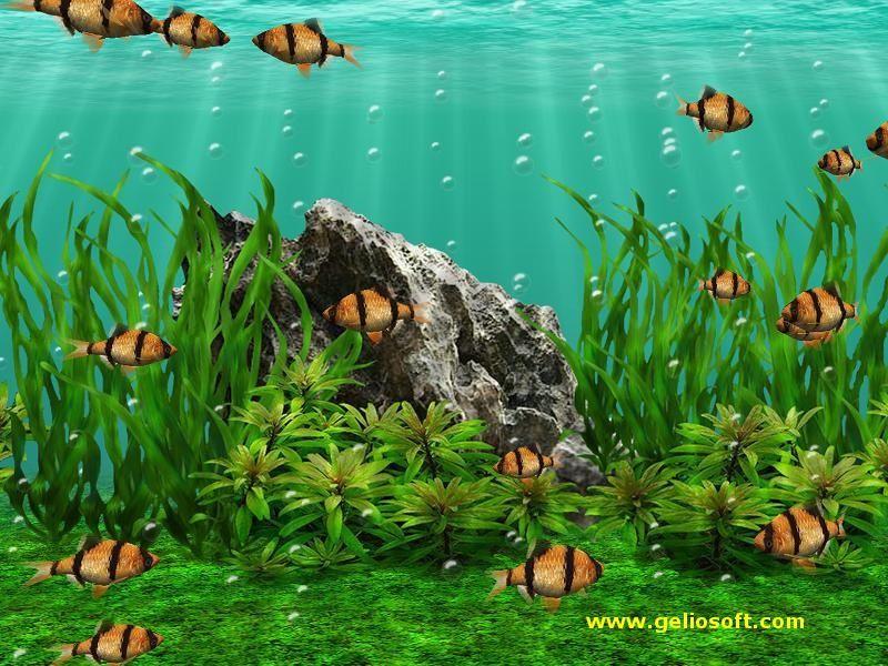 Budidaya Ikan Hias sumatra