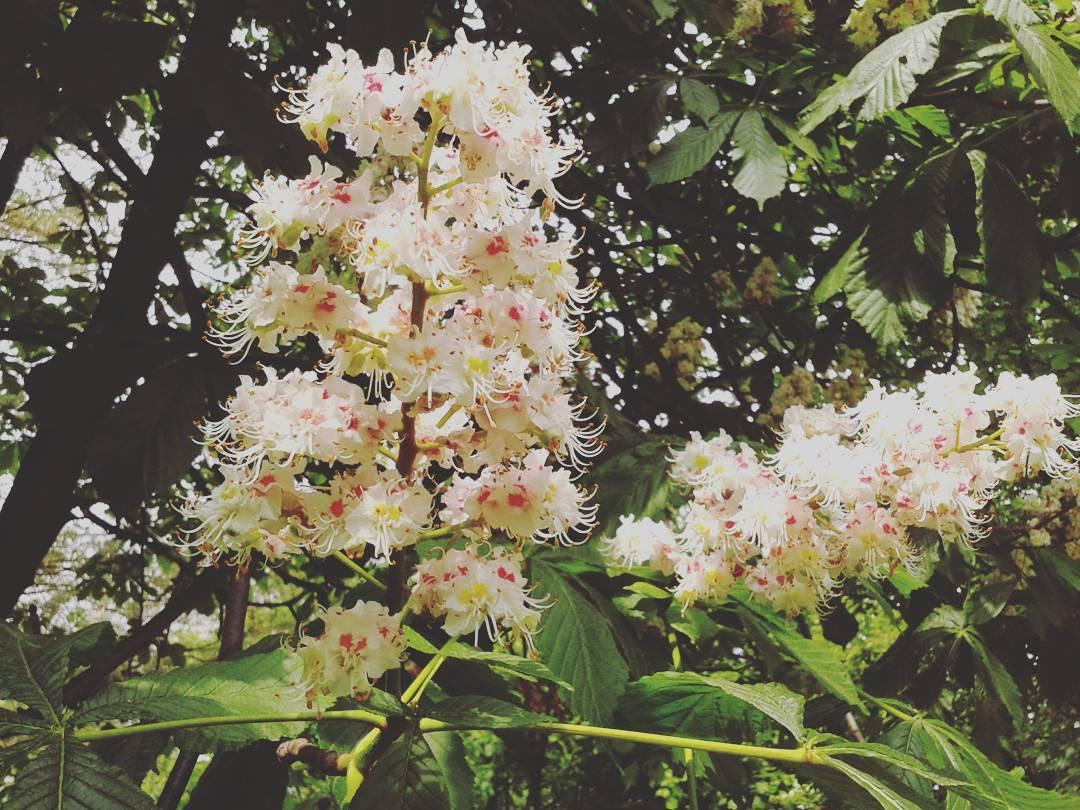 Naturalnie I Zdrowo Zbieramy Kwiaty Kasztanowca