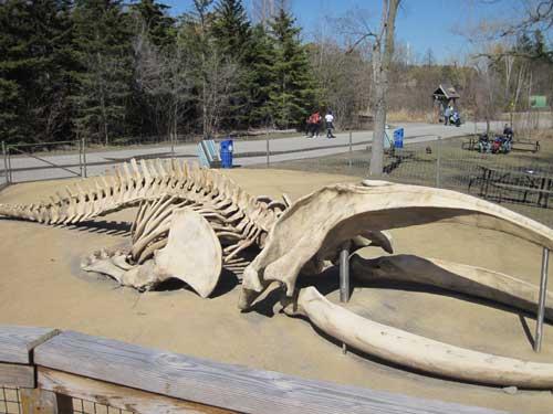 Bowhead Whale Bones