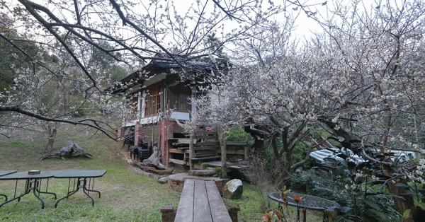 台中新社風林谷民宿梅花園,60棵老梅樹和6棵百年大樟樹