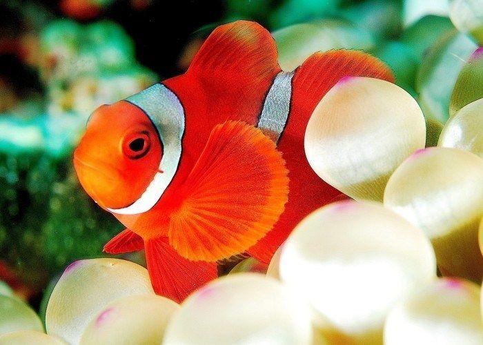 Ikan Nemo Premnas biaculeatus