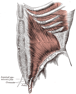 internal oblique muscle, anatomy, muscle picture