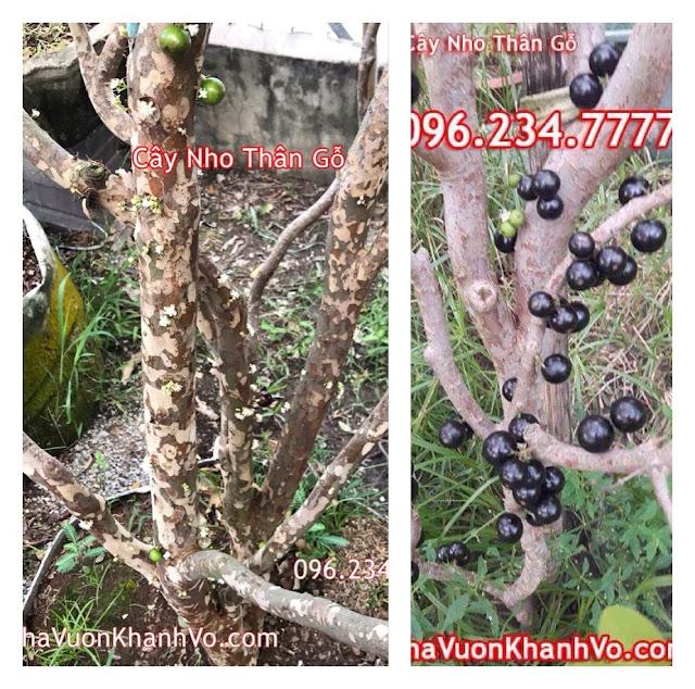 Đăng tin rao vặt: Nho thân gỗ Loại cây phong thủy của sự sung túc và đủ đầy Hoa-va-qua-cay-nho-than-go