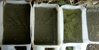 Ternak Azolla Microphylla di Jerigen Bekas Kemasan Minyak Goreng dan Bekas Kemasan Kue