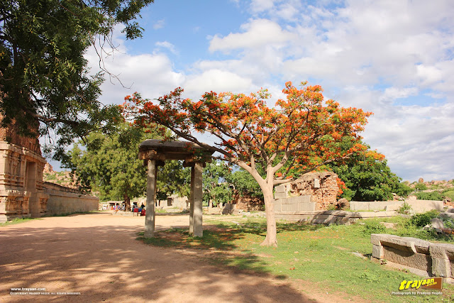 Flowered tree, outside Vithala temple, Hampi