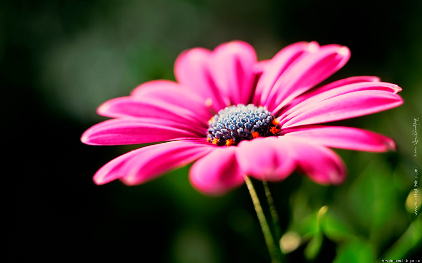 Hd Flower Backgrounds: Best Wallpaper: Beautiful Flowers Hd Wallpapers Free Download