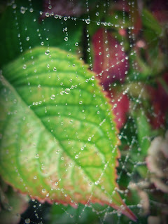 web in dew against hydrangea leaves