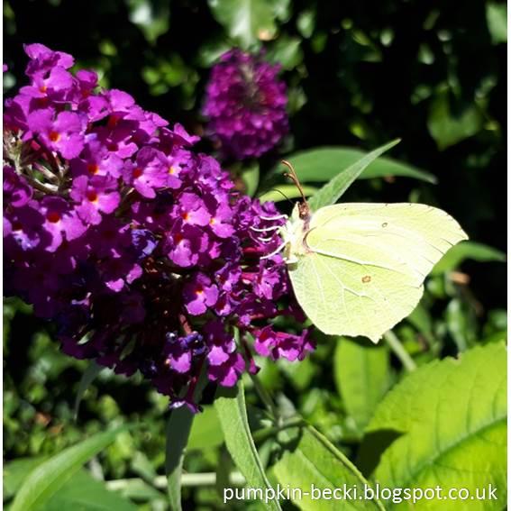 Brimstone butterfly drinking nectar dwarf Buddleja