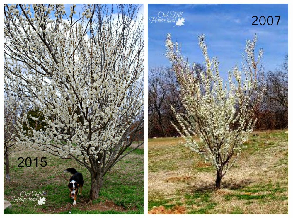 How to select, locate and plant fruit trees on your homestead | Oak Hill Homestead