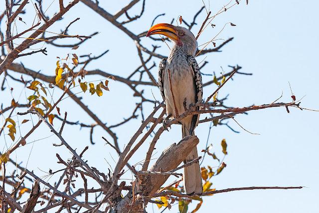 zazu banana volante cavaliere   kruger safari sud africa
