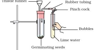 To show experimentally that carbon dioxide is given out