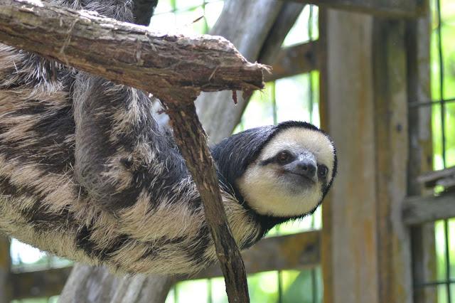 Guyane, Moutons-paresseux, chou aï