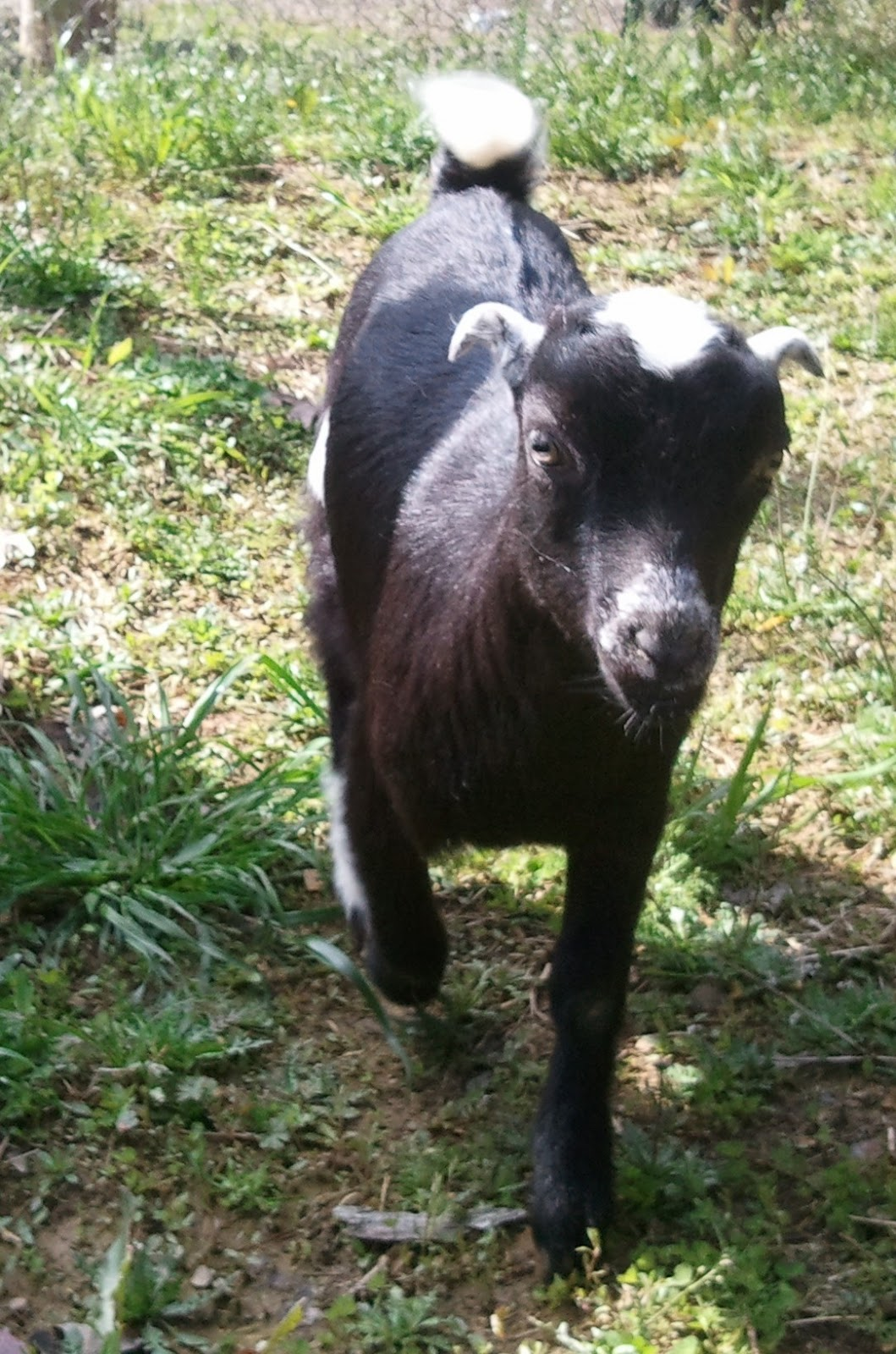 Sanctuary Farm: Deworming and Goats
