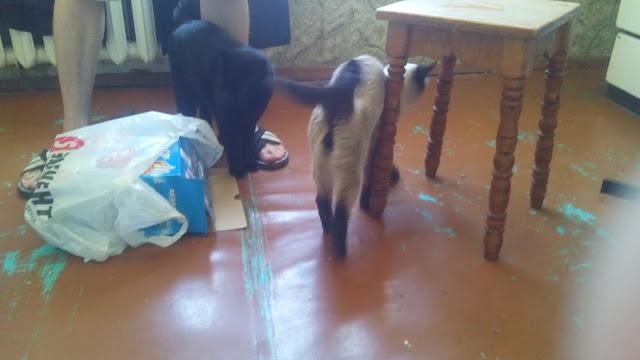 два кота на кухне