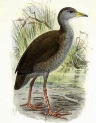gallineta akool Amaurornis Zapornia akool