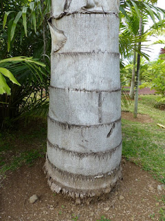 Caryota urens - Caryote brûlante - Palmier céleri à tronc simple