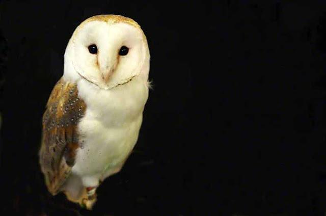 birds, nature, Okinawa, Owl, travel
