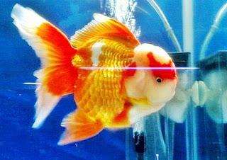 Gambar Ikan Mas Koki Goldfish