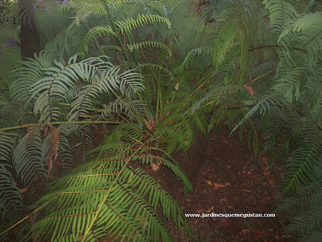 Helecho arbóreo (Cibotium schiedei)