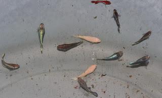 budidaya ikan cupan aduan,makanan ikan cupan,cara budidaya ikan cupan,cara ternak ikan cupan aduan,ikan cupan termahal,