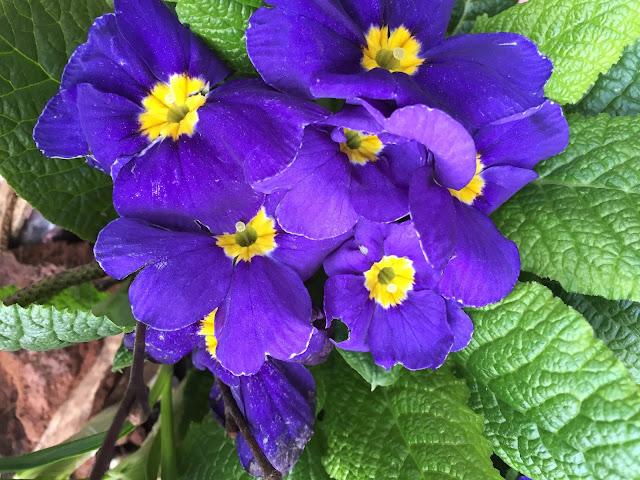 Blühende Primeln blau-lila