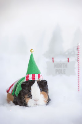 christmas with guinea pigs