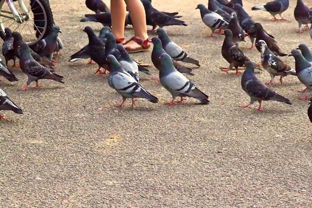 Palomas caminando entre pies humanos