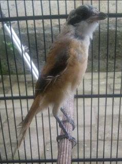 Cara Mengatasi Burung Cendet Yang Ketakutan
