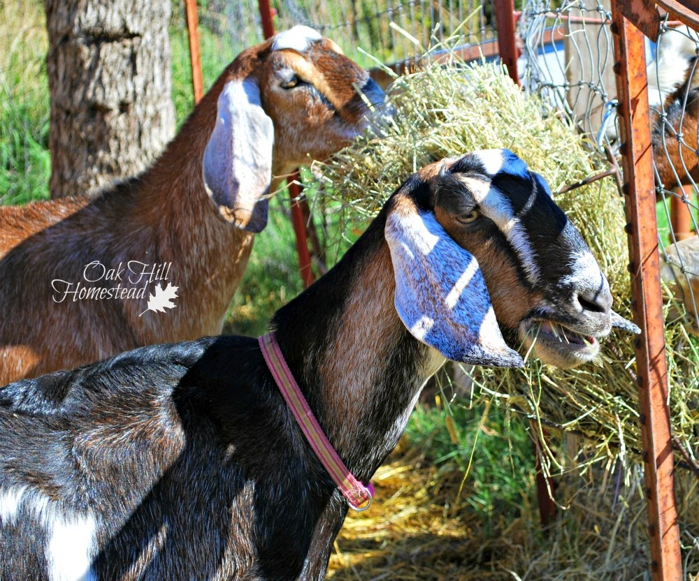 Goats are quirky, but if your goats display these behaviors you need to take a closer look.