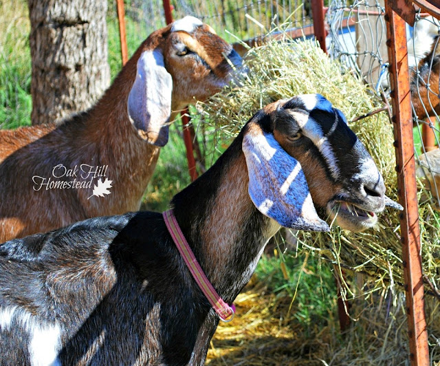 Is your goat's behavior normal? From quirky to unusual, here's what you need to know - and whether or not it's a sign of something seriously wrong.