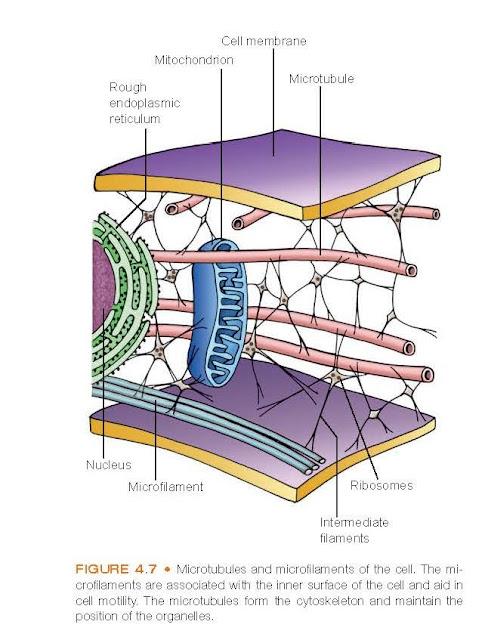 Microtubules function