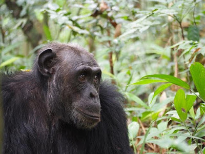 "7 Day Uganda Safari - Gorilla Safari Tours.Enjoy gorilla & Chimp trekking in Bwindi Impenetrable and Kibale National park & game drive in Queen Elizabeth"" />"
