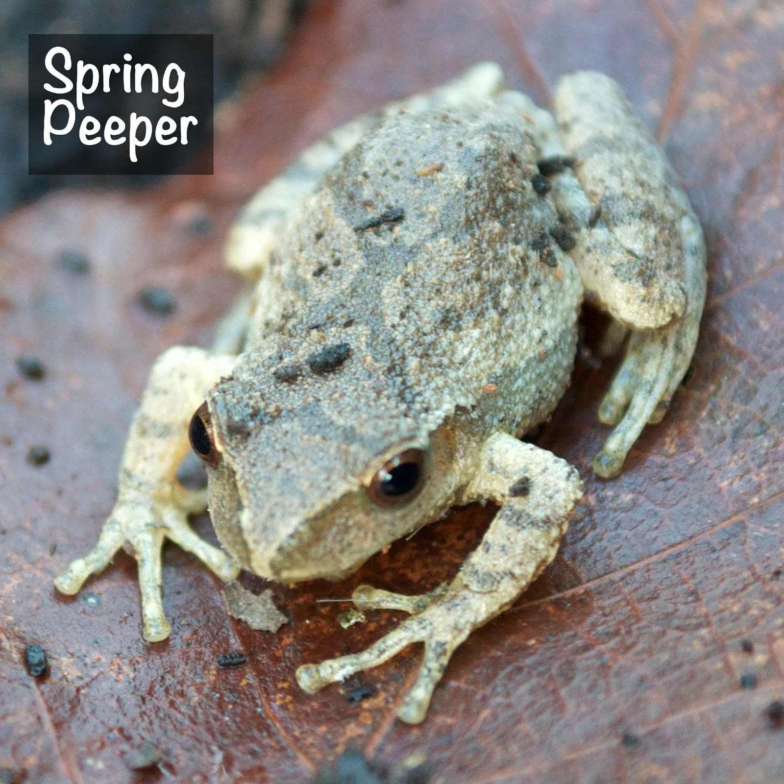 Illinois Natural History Survey Flirty Spring Frogs