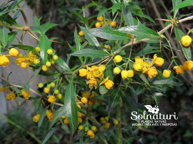 """Arbusto nativo Berberis ruscifolia """"Espina amarilla"""" - Vista en detalle de las flores y hojas"""