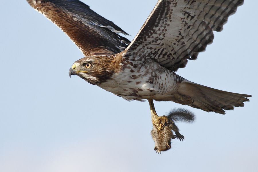 Red-Tailed Hawk with Squirrel
