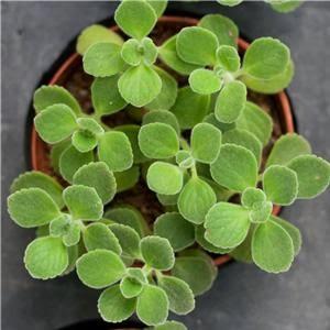 碰碰香栽培種植教學 - 室內植物天地