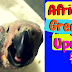 Timneh African Grey Baby UPDATE—4 Weeks Old!