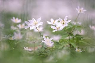 florecillas-blancas