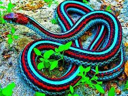Cobra colorida do brasil